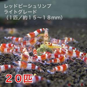 レッドビーシュリンプ ライトグレード(20匹/15〜18mm前後)死着補償サービス+2匹|shrimpariel