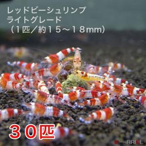 レッドビーシュリンプ ライトグレード(30匹/15〜18mm前後)死着補償サービス+3匹|shrimpariel