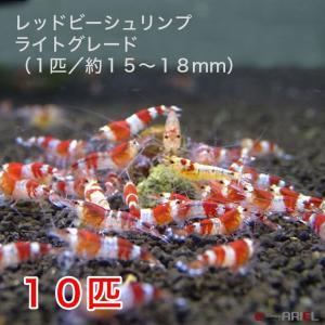 レッドビーシュリンプ ライトグレード(10匹/15〜18mm前後)死着補償サービス+2匹|shrimpariel