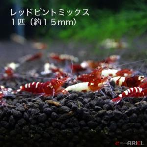レッドピントミックス 若親個体 1匹 (約15mm) shrimpariel
