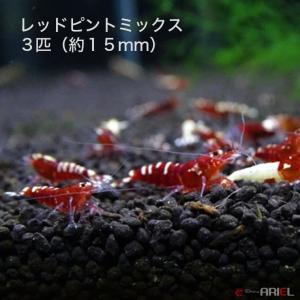レッドピントミックス 若親個体 3匹 (約15mm) shrimpariel