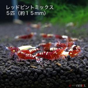 レッドピントミックス 若親個体 5匹 (約15mm) shrimpariel