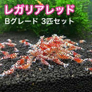 レガリアレッド Bグレード 3匹セット |shrimpariel