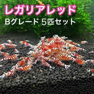 レガリアレッド Bグレード 5匹セット |shrimpariel