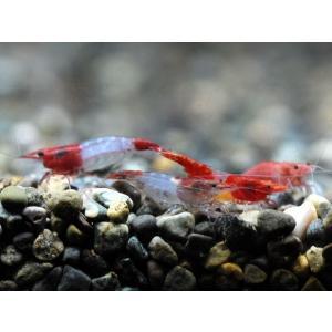 ルリーシュリンプ 10匹 死着補償サービス+2匹|shrimpariel