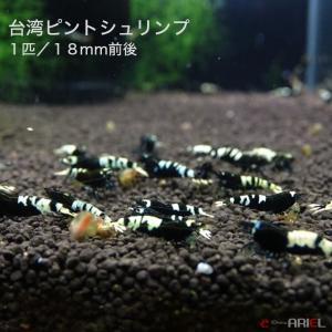台湾ピントシュリンプ 1匹 約1.8cm shrimpariel