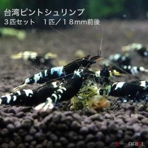 台湾ピントシュリンプ 3匹(1匹/約1.8cm) shrimpariel