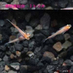 透明鱗紅白 1トリオ|shrimpariel
