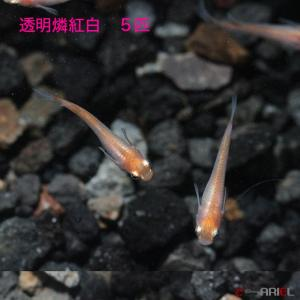 透明鱗紅白 5匹|shrimpariel