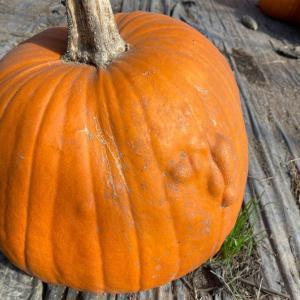 【傷有り】訳あり北海道産ハロウィーンかぼちゃ1玉【送料無料】