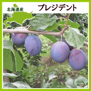 プルーン プレジデント 2Kg(生果実 500g×4)北海道産 出荷時期:10月