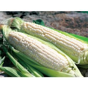 【8月下旬から発送を開始します】 粒皮の色が白く、フルーツのような甘さを持つ白いとうもろこしは、収穫...