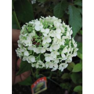 アナベルアジサイ 鉢植え 贈り物や プレゼントに アナベルの 純白のアジサイを|smilefield