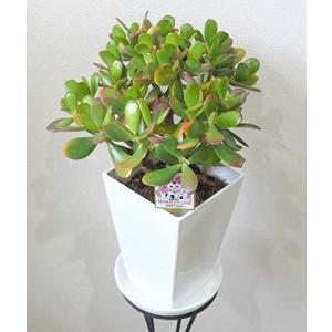 【各種御祝いに 縁起の良い贈り物】 季節の鉢花 金のなる木 花月 4.5号|smilefield