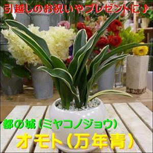 万年青(オモト)都の城(みやこのじょう) 和風の和み テーブルサイズ(S-サイズ)インテリア陶器鉢植え 受?|smilefield