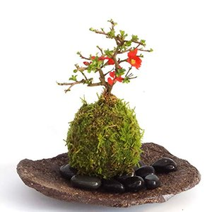 年に数回可憐な花が楽しめます。名前も縁起がいいでしょ?【紅長寿梅(べにちょうじゅばい)の苔玉(こけだ|smilefield