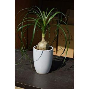 人気観葉植物 トックリラン|smilefield