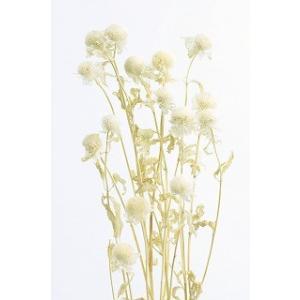 プリザーブドフラワー 材料 モナルダ 白 小分け 大地農園花材|solargift
