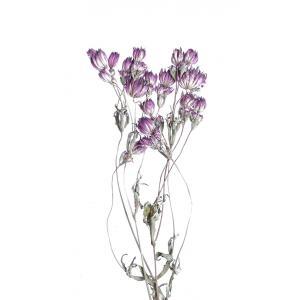 ドライフラワー 花材 アストランティア パープル 約3本 そらプリ|solargift