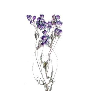 ドライフラワー 花材 アストランティア ダークパープル 約3本 そらプリ|solargift