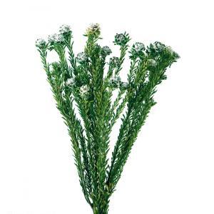 そらプリ ハーバリウム 花材 トータムフィーメイル グリーン 小分け|solargift