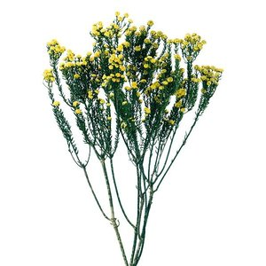 そらプリ プリザーブドフラワー 花材 フレンチフィリカ イエロー 小分け|solargift
