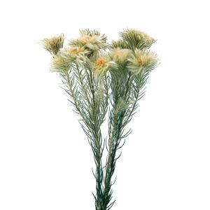 プリザーブドフラワー 花材 フィリカ N 小分け 大地農園 材料 ふわふわ 小花の画像