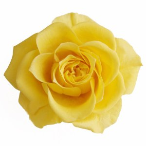 プリザーブドフラワー 材料 花材 開花バラ Sサイズ レモン 小分け 1輪 プリザーブドフラワー|solargift