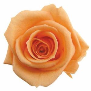 スタンダードローズ シャーベットオレンジ 小分け 1輪入 プリザーブドフラワー 花材 材料|solargift