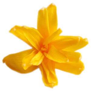 チューベローズ ゴールデンイエロー 小分け 2輪入 プリザーブドフラワー 材料 花材 フロールエバー|solargift