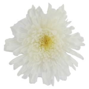 スプレーマム プリザーブドフラワー 材料 パールホワイト 小分け 1輪入 プリザーブドフラワー 花材 菊|solargift