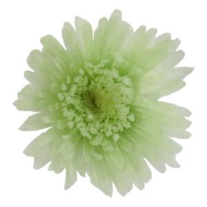 プリザーブドフラワー 材料 スプレーマム ミントグリーン 小分け 1輪入 プリザーブドフラワー 花材 菊|solargift