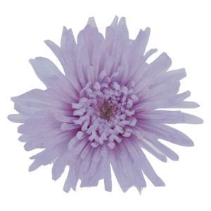 プリザーブドフラワー 材料 スプレーマム ソフトライラック 小分け 1輪入 プリザーブドフラワー 花材 菊|solargift