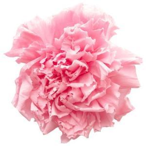 スタンダードカーネーション ベイビーピンク 小分け 1輪入 プリザーブドフラワー 材料 花材|solargift