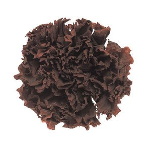 スタンダードカーネーション カフェ 小分け 1輪入 プリザーブドフラワー 材料 花材|solargift