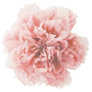 スタンダードカーネーション ヌードピンク 小分け 1輪入 プリザーブドフラワー 材料 花材|solargift