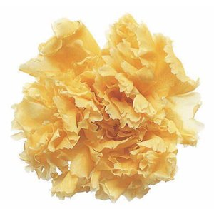 スタンダードカーネーション イエロー 小分け 1輪入 プリザーブドフラワー 材料 花材|solargift