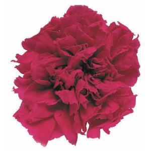 スタンダードカーネーション ホットピンク 小分け 1輪入 プリザーブドフラワー 材料 花材|solargift