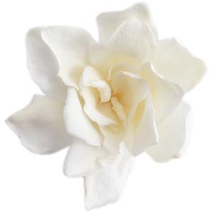ソフトクチナシ 大 白 小分け 1輪入 プリザーブドフラワー 材料 花材 ガーデニア 大地農園|solargift