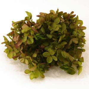 プリザーブドフラワー 花材 ピラミッドアジサイ グリーンボルドー バラ売り 約4g|solargift