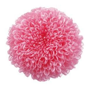 プリザーブドフラワー 花材 菊 ピンポンマム ミディー ももいろ 小分け 1輪 バラ売り solargift