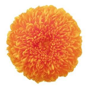 プリザーブドフラワー 花材 菊 ピンポンマム ミディー フルーティーオレンジ 小分け 1輪 バラ売り solargift