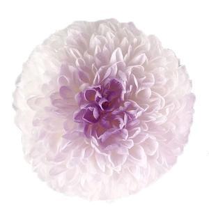 プリザーブドフラワー 菊 ポンポン菊 ミディー ホワイトパープル 小分け 1輪 そらプリ|solargift