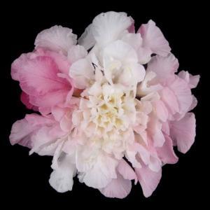 スカビオサ ホワイトピンク 小分け 1輪入 プリザーブドフラワー 材料 花材 大地農園|solargift