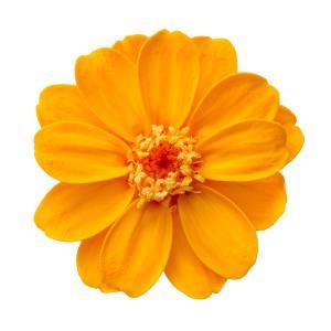 そらプリ プリザーブドフラワー 花材 ジニア 小 フルーティー オレンジ 小分け 1輪 大地農園 花の画像