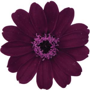 そらプリ プリザーブドフラワー 花材 ジニア 小 チョコレート ワイン 小分け 1輪 花 大地農園の画像