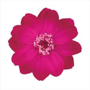 そらプリ プリザーブドフラワー 花材 ジニア 小 グラデーション ピンクルビー 1輪 小分け 大地農園 花 ハンドメイド 手作り 個売りの画像