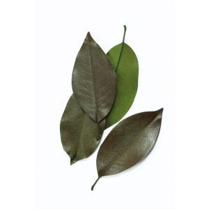 シャークリーフ グリーン 小分け 3枚 x1-oh-03530-700 大地農園|solargift