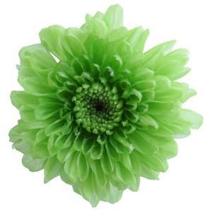 プリザーブドフラワー 小菊 グリーン 小分け 1輪 マム 大地農園|solargift
