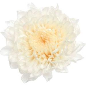 小菊 ミルフィーユ ホワイトピンク 小分け 1輪入 マム プリザーブドフラワー 花材 大地農園|solargift